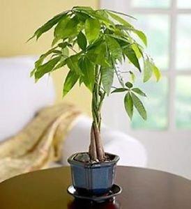 Good luck Money Bonsai Tree (INDOORS) (FREE SHIPPING)
