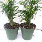 "Two Victorian Parlor Palm - Chamaedorea - Indestructable - 4"" Pot"