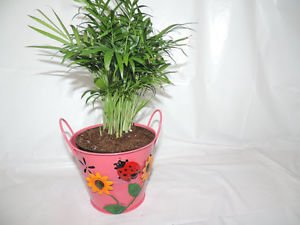Victorian Parlor Palm- Chamaedorea-indestructable (FREE SHIPPING)
