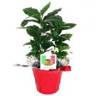 "Hirt's Arabica Coffee Bean Plant - 3.5"" pot with Decorative Pot Cover"