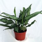 "Silver Queen - Plant - Aglaonema - Low Light - 6"" Pot (FREE SHIPPING)"