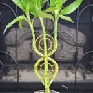 dream Catcher Lucky Bamboo Plant Arrangement with Glass Vase