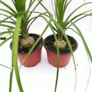 """Two Ponytail Palm - 4"""" Pot - Beaucarnea - Great Indoors!"""