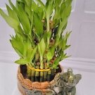 Three Tiered Lucky Bamboo Arrangement Elephant Vase Favor