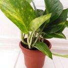 """Golden Devil's Ivy - Pothos - 4.5"""" Unique Design Pot - FREE SHIPPING"""