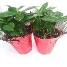 """Two Arabica Coffee Bean Plant - 3.5"""" Pot with Decorative Pot Cover"""