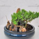 bonsai- Juniper Tree Zen Garden With Pool Fishman (FREE SHIPPING)