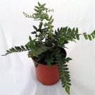 "Tarawera Button Fern - Pellaea - Toxic To Common House Fly - 4"" Pot"