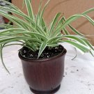 "Reverse Variegated Spider Plant - 4""ceramic Pot (FREE SHIPPING)"