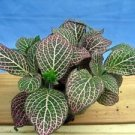 "Red Veined Nerve Plant - Fittonia - Easy House Plant - 6"" Pot"