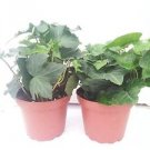 """Two Baltic English Ivy Plant Hardy Groundcover 4"""" Pot"""