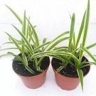 "Two Reverse Variegated Spider Plant Cleans the Air - 4"" Pot"