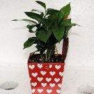 Valentine 'Coffee Plant' - Coffee/ decorative pot /Coffee Tree