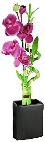 Set of 2 Live Spiral 3 Style Lucky Bambo with Artifical Orchid Flower Tall Recta