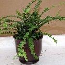 "Lemon Button Fern 4"" ceramic-Pot color red - Nephrolepis cordifolia Duffii-uniqu"