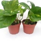 "Two Golden Devil's Ivy Pothos Epipremnum 4"" Pot Very Easy to Grow"