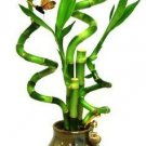 GoGoGreen88 - 5 Stems Spiral Lucky Bamboo in Handmade Rose Vase