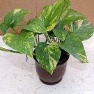 "Golden Devil's Ivy - 4"" ceramic Pot red color (FREE SHIPPING)"