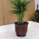 """Victorian Parlor Palm - Chamaedorea - 4"""" Ceramic Pot/ color"""