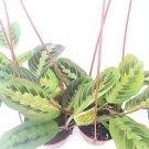 "Two Red Prayer Plant Maranta 4"" Hanging Pot -/From Jmbamboo"