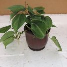 """Heart Leaf Philodendron - Easiest House Plant to Grow - 4""""ceramic Pot color red"""