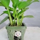 Golden Devil's Ivy - Pothos - Epipremnum -With Panda Vase 4'' Pot - Very Easy t
