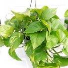 """Golden Devil's Ivy - Pothos - Epipremnum - 6"""" Hanging Pot - Very Easy to Grow un"""