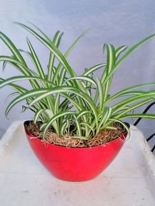 Ocean Spider Plant - With Pot 9x5'' Inches 5'' Tall (FREE SHIPPING)