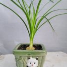 Guatemalan Red Ponytail Palm - Beaucarnea - Panda Vase - Easy to Grow (FREE SHIPPING)