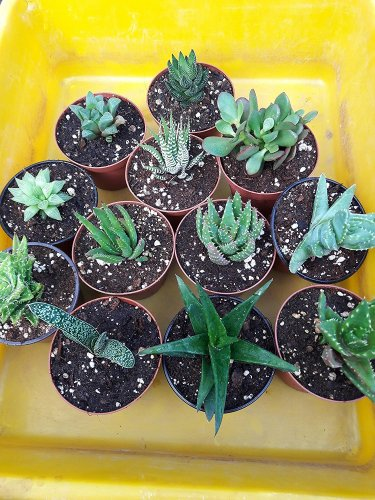 "Haworthia Collection 10 Plants - Easy to Grow/hard to Kill - 3"" Pot"