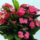 "Pink Crown of Thorns Plant - Euphorbia - 5"" Pot (FREE SHIPPING)"