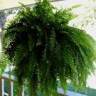 "Fern, 8"" Hanging Basket, Live Plant (FREE SHIPPING)"