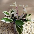 "Strawberries & Cream Wax Plant - Hoya - Great House Plant - 4"" Hanger Pot (FREE SHIPPING)"