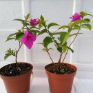 Two Royal Purple Bougainvillea Plant -Indoors/Out or Bonsai (FREE SHIPPING)