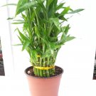 "3 Tier 4"" 6"" 8"" Top Quality Lucky Bamboo 6'' pot For Feng Shui / unique Design (FREE SHIPPING)"
