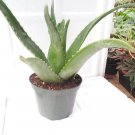 Aloe Vera -Juice Medicinal Tropical Plant Live 6'' pot (FREE SHIPPING)