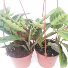 "Two Red Prayer Plant Maranta 4"" Hanging Pot (FREE SHIPPING)"