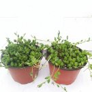 """Two String of Pearls - Senecio - Easy to Grow - 4"""" Pot (FREE SHIPPING)"""