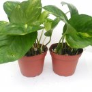 """Two Golden Devil's Ivy Pothos Epipremnum 4"""" Pot Very Easy to Grow (FREE SHIPPING)"""