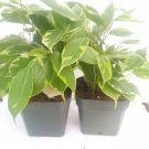 """Two Java Starlight Weeping Fig Tree - Indoor or Bonsai -Ficus - 4"""" Pot (FREE SHIPPING)"""