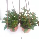 "Two Goldfish Plant - 4"" Hanging Basket - Blooms Constantly (FREE SHIPPING)"