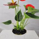 "Hawaiian Red Anthurium Plant 8 - 10 Inches in a 4"" Pot"