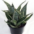 """Starlite Snake Plant, Mother-In-Law's Tongue - Sanseveria - 4"""" Pot"""