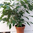 pot Weeping Fig Tree - Ficus Benjamina - Easy to Grow