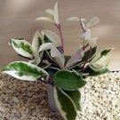 "Strawberries & Cream Wax Plant - Hoya - Great House Plant - 4"" Hanger Pot unique"