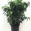 """Midnight Weeping Fig Tree - Ficus - Great Indoor Tree for Low Light - 4"""" Pot"""