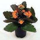 "'Christmas Rosebud Orange Kalanchoe' - Calandivia - 4"" Pot"