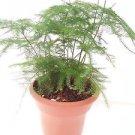 """Fern Leaf Plumosus Asparagus Fern 4.5"""" Unique Design Pot"""