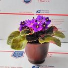 "Novelty African Violet - 4"" with Ceramic Pot / Better Growth - Best Blooming Pla"