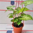 "Syngonium 'Pixie' - Butterfly Plant- 4"" Hanging Pot - Very Easy to Grow"